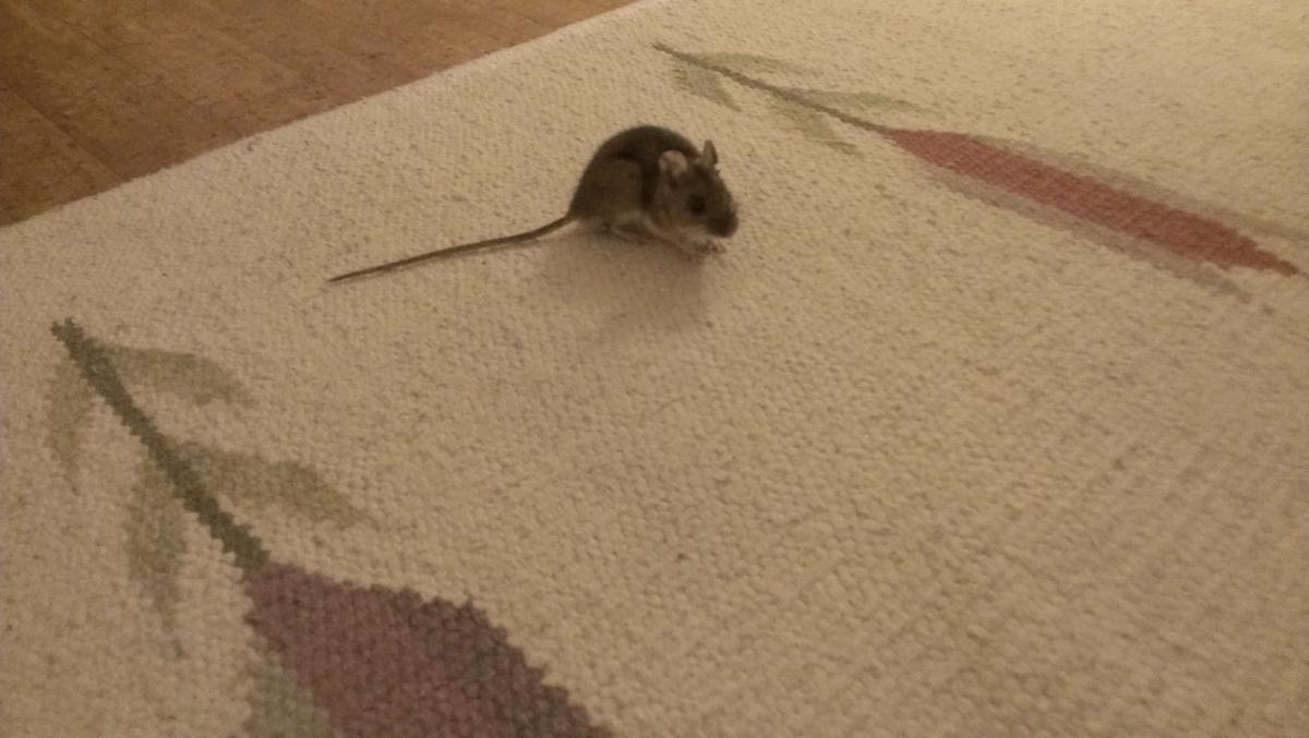 döda råttor med glykol